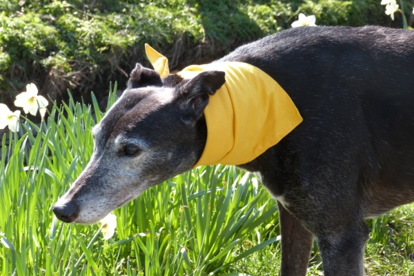 Yellow Dog Bandana for Reactive Greyhounds Lurchers and Whippets