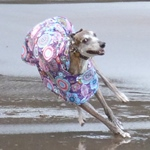 greyhound raincoat in purple haze design